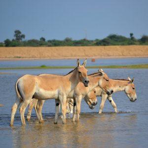 asini selvatici nel little rann of kutch in gujarat