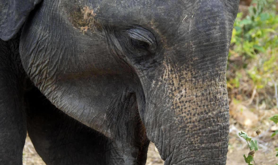 elefante nel parco uduwelawe a sri lanka