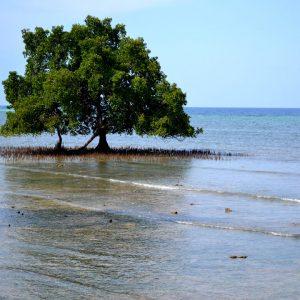 mangrovie sulla costa a flores