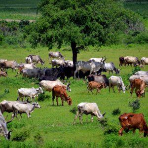 pascolo nelle campagne del kutch, in gujarat, alla fine del monsone