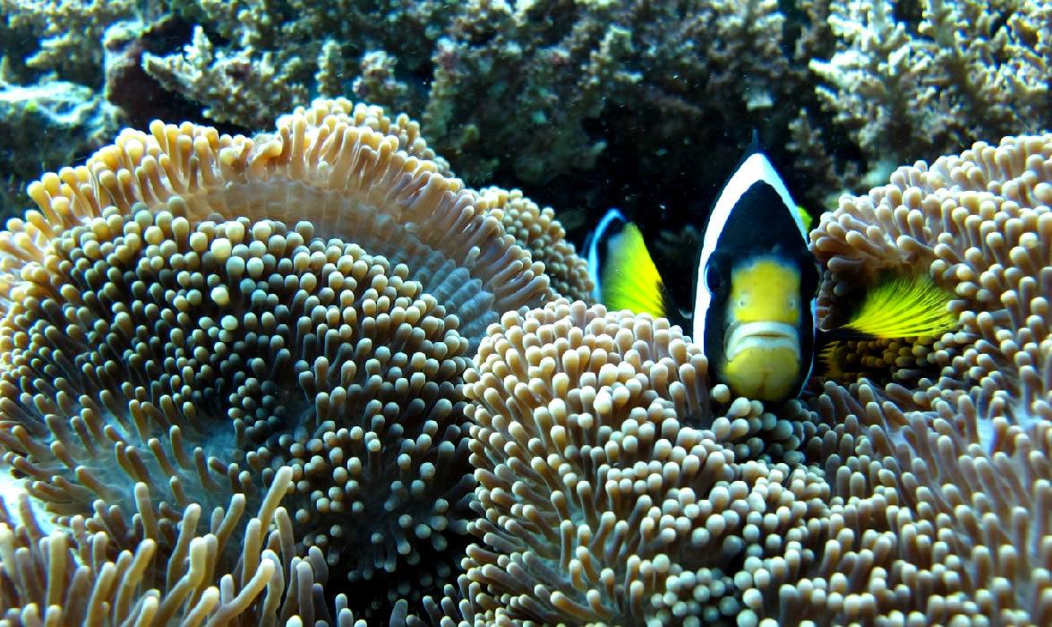 pesce pagliaccio alle maldive