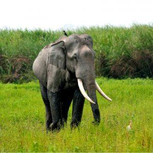elefante al parco di kaziranga