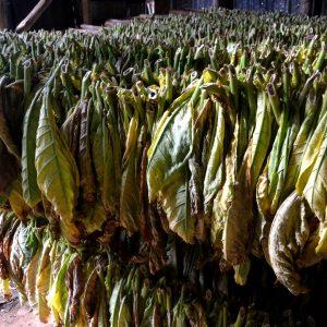 l'essicazione del tabacco a cuba