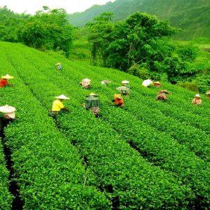 le famosi piantagioni di tè e darjeeling in india