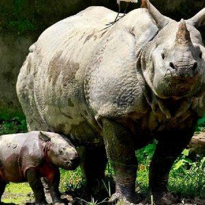 rinoceronte con cucciolo al parco di kaziranga