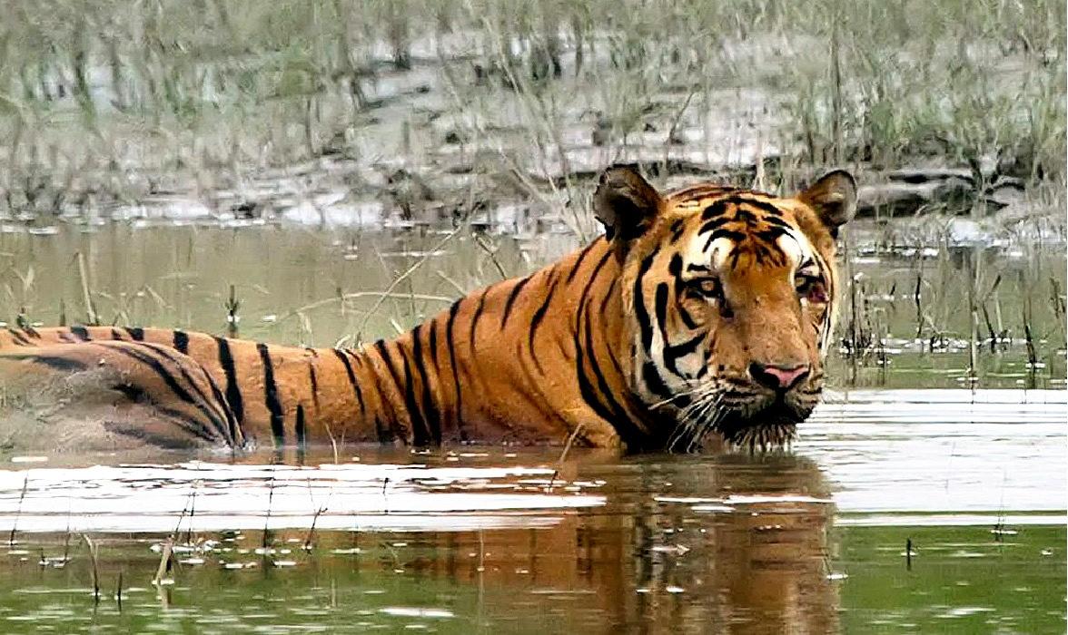 tigre nel parco di kaziranga nell'India del nord est