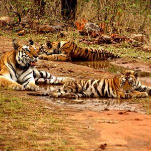 tigri al parco di panna