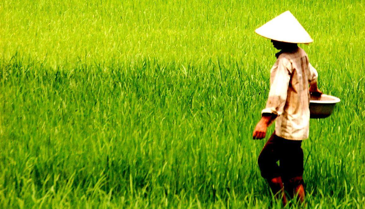 campo di riso vietnam