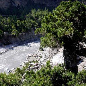 ginepri secolari lungo la valle della kali gandaki
