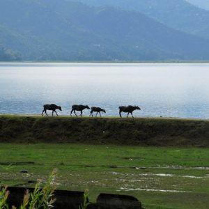 mucche sulla riva del lago a pokhara in nepal