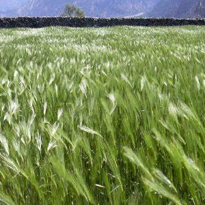 orzo nel vento a marpha in annapurna
