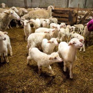 pecore nel parco del gigante